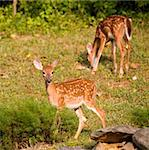 Pair of whitetail deer fawns still in spots near some rocks Stock Photo - Royalty-Free, Artist: gsagi                         , Code: 400-05382833