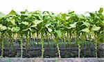 Rows of tobacco plants that have their bottom leaves removed Stock Photo - Royalty-Free, Artist: gsagi                         , Code: 400-05382841