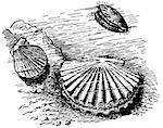 Scallops on bottom of the river Stock Photo - Royalty-Free, Artist: Denis_Barbulat                , Code: 400-05383717