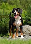 The Appenzeller Sennenhund is a medium-size breed of dog, one of the four regional breeds of Sennenhund-type dogs from the Swiss Alps. The name Sennenhund refers to people called Senn, herders in the Swiss Alps. Appenzell is an alpine region in the northeast of Switzerland. Stock Photo - Royalty-Free, Artist: pavelshlykov                  , Code: 400-05385899