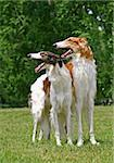 Portrait of russian borzoi dog Stock Photo - Royalty-Free, Artist: pavelshlykov                  , Code: 400-05385908