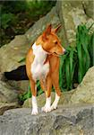 Basenji dog on rock Stock Photo - Royalty-Free, Artist: pavelshlykov                  , Code: 400-05385920