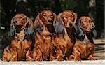 Four red Dachshund dogs sitting together Stock Photo - Royalty-Free, Artist: pavelshlykov                  , Code: 400-05385934