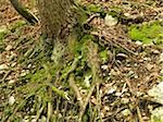 Tree Roots on Forest Floor Stock Photo - Premium Royalty-Free, Artist: Svenja Kaufmann, Code: 600-05389506