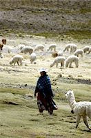 south american woman - Peru, Colca canyon, herd of vicunas Stock Photo - Premium Royalty-Freenull, Code: 610-05392665