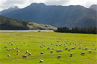pasture with sheep grazing,  New Zealand Stock Photo - Premium Royalty-Freenull, Code: 6106-05393741