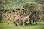 Giraffes, Giraffa camelopardalis Stock Photo - Premium Royalty-Freenull, Code: 6106-05395273