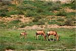Red Hartebeest, Kgalagadi Transfrontier Park Stock Photo - Premium Royalty-Freenull, Code: 6106-05395363