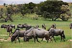 blue wildebeest, Connochaetes taurinus Stock Photo - Premium Royalty-Freenull, Code: 6106-05395713