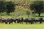 blue wildebeest, Connochaetes taurinus Stock Photo - Premium Royalty-Freenull, Code: 6106-05395717