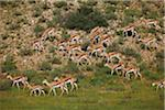 Springbok, Kgalagadi Transfrontier Park Stock Photo - Premium Royalty-Freenull, Code: 6106-05395729