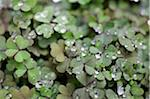 Dew droplets on green clovers Stock Photo - Premium Royalty-Free, Artist: F. Lukasseck, Code: 6106-05395793