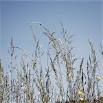 Timothy grass Stock Photo - Premium Royalty-Free, Artist: Aurora Photos            , Code: 632-05400921