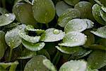 Droplets on peperomia leaves Stock Photo - Premium Royalty-Free, Artist: David Muir, Code: 633-05401578