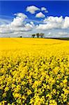 Oilseed Rape Field Stock Photo - Premium Royalty-Free, Artist: Transtock, Code: 6106-05402709