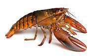 American lobster - Homarus americanus Stock Photo - Premium Royalty-Freenull, Code: 6106-05407446