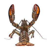 American lobster - Homarus americanus Stock Photo - Premium Royalty-Freenull, Code: 6106-05407448