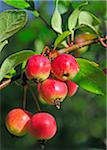 Crab apples growing on a tree Stock Photo - Premium Royalty-Free, Artist: Beanstock Images, Code: 6106-05409169