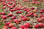 Apples Laying on the Ground Stock Photo - Premium Royalty-Free, Artist: Horst Herget, Code: 6106-05409385