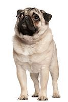 pvg - Pug (13 months old) looking up Stock Photo - Premium Royalty-Freenull, Code: 6106-05410638