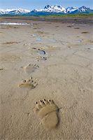 Brown Bear Tracks, Katmai National Park, Alaska Stock Photo - Premium Royalty-Freenull, Code: 6106-05414653