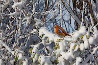 Robin in winter snow Stock Photo - Premium Royalty-Freenull, Code: 6106-05415877