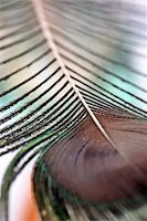 feather  close-up - Feather close up Stock Photo - Premium Royalty-Freenull, Code: 6106-05416500