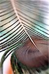 Feather close up Stock Photo - Premium Royalty-Free, Artist: Minden Pictures, Code: 6106-05416500