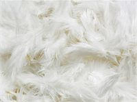 feather  close-up - White Feathers Stock Photo - Premium Royalty-Freenull, Code: 6106-05420341