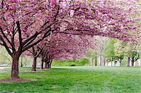 Alley with cherry trees Stock Photo - Premium Royalty-Freenull, Code: 6106-05424075