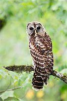 Barred Owl Stock Photo - Premium Royalty-Freenull, Code: 6106-05425344