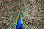 Peacock Stock Photo - Premium Royalty-Free, Artist: Robert Harding Images, Code: 6106-05427001