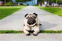 pvg - Pug on walkway Stock Photo - Premium Royalty-Freenull, Code: 6106-05428797
