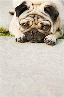 pvg - Pug on walkway Stock Photo - Premium Royalty-Freenull, Code: 6106-05428799