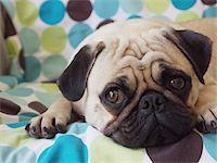 pvg - pet pug laying on blanket Stock Photo - Premium Royalty-Freenull, Code: 6106-05428828