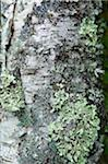 Moss & Lichen on a Birch Tree Stock Photo - Premium Royalty-Freenull, Code: 6106-05438175