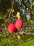 Crab Apples Stock Photo - Premium Royalty-Free, Artist: foodanddrinkphotos, Code: 6106-05440507