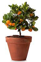 potted plant - Orange tree in clay pot Stock Photo - Premium Royalty-Freenull, Code: 6106-05447240