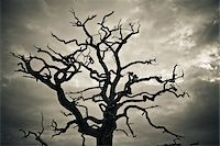 Branches of Dead Tree Against Cloudy Sky Stock Photo - Premium Rights-Managednull, Code: 700-05452217