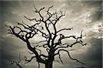 Branches of Dead Tree Against Cloudy Sky Stock Photo - Premium Rights-Managed, Artist: Matt Brasier, Code: 700-05452217