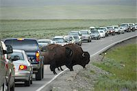 Buffalo Causing Traffic Jam, Yellowstone National Park, Wyoming, USA Stock Photo - Premium Rights-Managednull, Code: 700-05452225