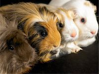 Four guinea pigs sitting in a line, close-up Stock Photo - Premium Royalty-Freenull, Code: 6106-05454460
