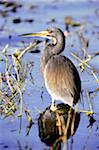 Tricolored heron standing in swamp in Louisiana Stock Photo - Premium Royalty-Free, Artist: Greg Stott, Code: 6106-05465965