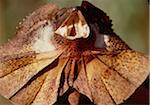 Frilled Lizard Stock Photo - Premium Royalty-Free, Artist: Robert Harding Images, Code: 6106-05466978