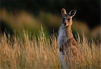 Kangaroo Stands in Tall Grass Stock Photo - Premium Royalty-Freenull, Code: 6106-05470313