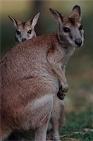 Agile Wallaby Mother and Joey Stock Photo - Premium Royalty-Freenull, Code: 6106-05470352