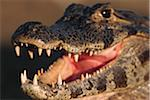 Caiman with Open Mouth Stock Photo - Premium Royalty-Free, Artist: Robert Harding Images, Code: 6106-05470538