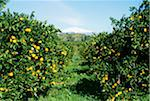 Italy, Sicily, Lemon orchard Stock Photo - Premium Royalty-Free, Artist: Hiep Vu, Code: 6106-05478018
