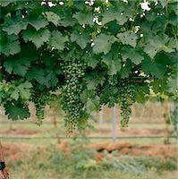 Grapes hanging on tree Stock Photo - Premium Royalty-Freenull, Code: 6106-05481769