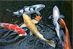Carp swimming in pond, high angle view Stock Photo - Premium Royalty-Free, Artist: Minden Pictures, Code: 6106-05482421